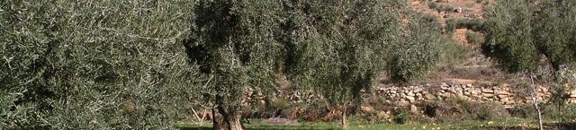Comienza la campaña de la oliva